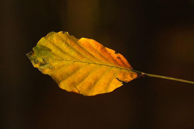 Close-up of dry leaf against black background