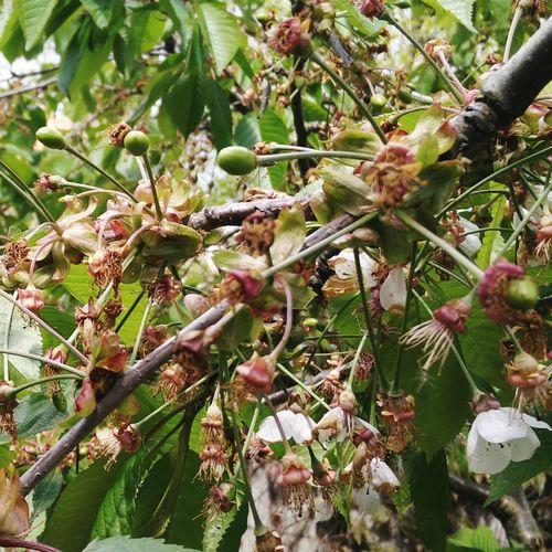 Cherries Ripening Fruit Cherry Tree