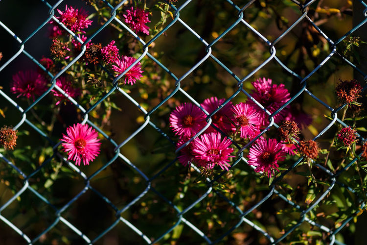 Afternoon in autumn Autumn New York Aster Aster Fence Flower Magenta