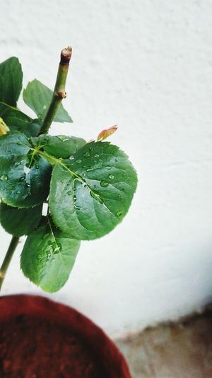 Leaf 🍂 Droplets Rose Plant Green Leaves 😚