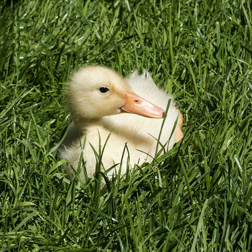 Animal Themes Animals In The Wild Baby Beak Bird Chick Close-up Day Duckling Easter Easter Chicks Grass Green Color Growth Nature No People One Animal Outdoors Spring Flowers Spring Has Arrived Young Animal Young Bird