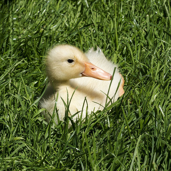 Animal Themes Animals In The Wild Baby Beak Bird Chick Close-up Day Duckling Easter Easter Chicks Grass Green Color Growth Nature No People One Animal Outdoors Spring Flowers Spring Has Arrived Young Animal Young Bird A New Beginning