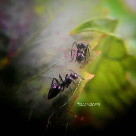 Still learning to use Smartphone's macro lens... well bugs can't stand still... Ants Leaf Garden Macrolens VSCO Bug Flowers,Plants & Garden Nature Bandungcity INDONESIA