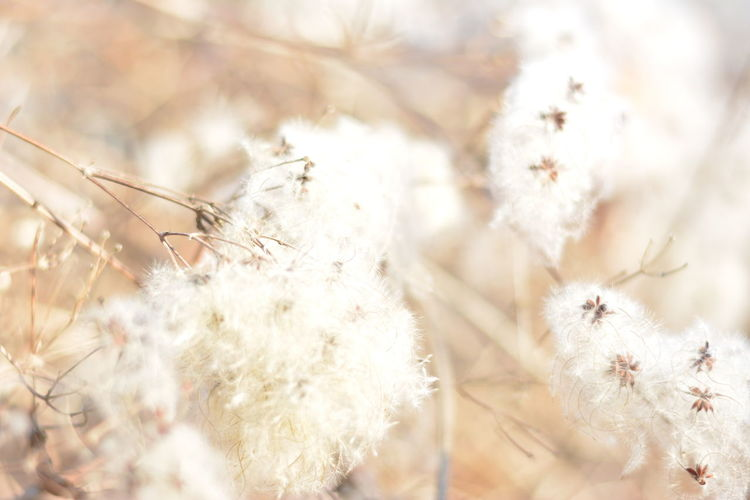 Beauty In Nature Close-up Cotton Plant Day Environment Flower Flower Head Fragility Freshness Growth Nature No People Outdoors Plant Springtime Sunlight