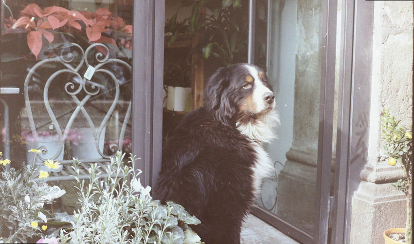Shop Flower Shop Flowers Analogue Photography Film Photography Streetphotography Italian City Rome Portrait Dog Portrait Pets Dog Window Close-up Closed Door Entryway Door Open Door Front Door Entrance My Best Photo