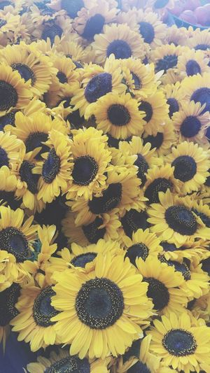 🌻. Sunflowers Flower Yellow Freshness Petal Flower Head Beauty In Nature Fragility Backgrounds Nature Full Frame Abundance Scenics Day Majestic Tranquility Bloom Vibrant Color Outdoors Blossom Botany Eye4photography  EyeEm Nature Lover EyeEm Best Shots Jasmin1916 MKE 🏙 Milwaukee First Eyeem Photo