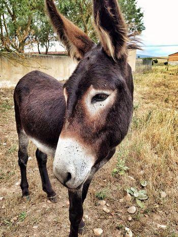 Burro Asno Donkey Pet Pet Portraits