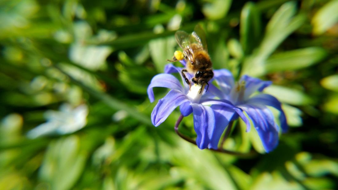 Beauty In Nature Bee Biene Blooming Close-up Day Dortmund Flower Flower Head Focus On Foreground Fragility Freshness Growth Insect Nature Outdoors Petal Plant Pollen Pollination Purple Rombergpark Scilla Selective Focus Skilla