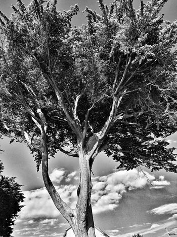 B&WPhoto B&W Collection Monochrome Collection Monochrome Photograhy B&w B&w Photo Tree Arbre Nature Tree Sky And Clouds Outdoors Low Angle View Beauty In Nature Tranquility No People Blackandwhite Photography La Bernerie En Retz Loire-atlantique France🇫🇷 Huawei P9. Photography Sky