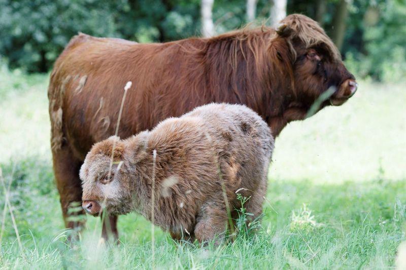 Highland cattle standing on grassy field