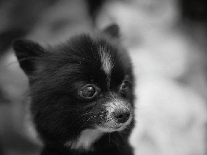 Pomeranian Domestic Animals Close-up Portrait Indoors  Pets Animal Mammal Pet Portraits