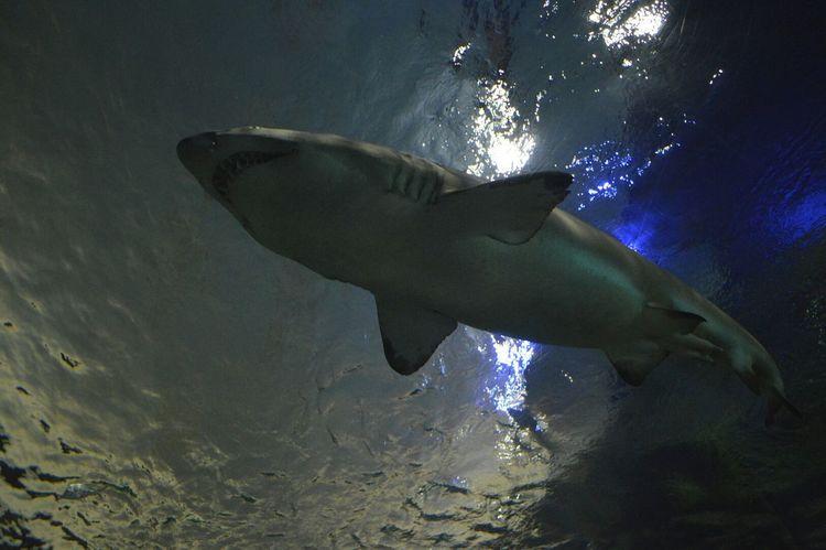 Aquarium Ripley's Aquarium Sharks RAD
