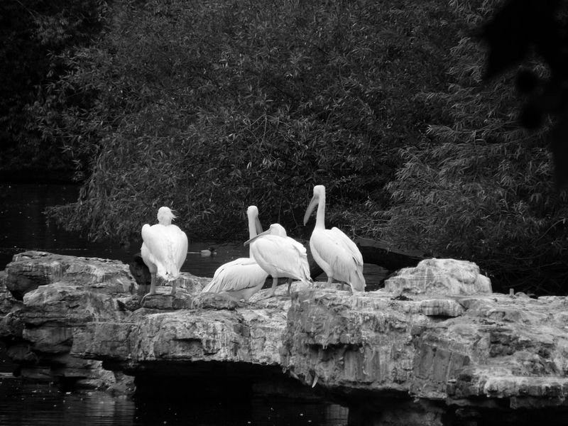Amaizing pellicans on a rock Pellican Candid Rock River Shades Of Grey Relaxing Getting Inspired Traveling Capturing Freedom Birds_collection