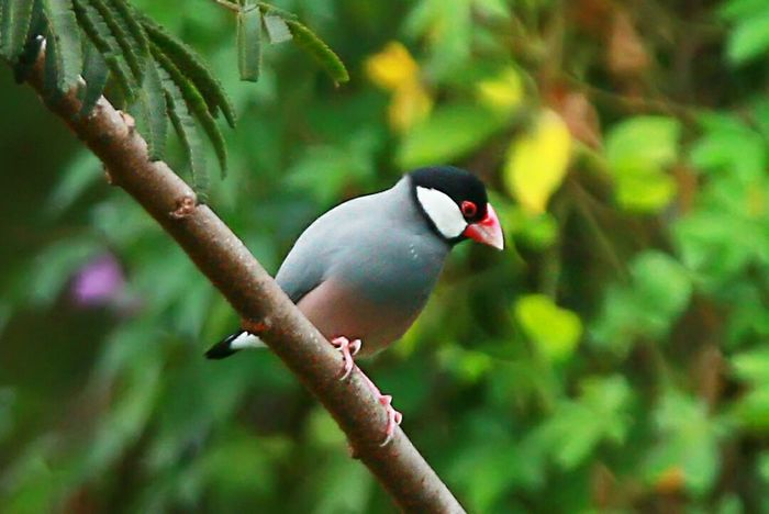 JAVA SPARROW Bird Photography Birding EyeEm Indonesia Photo Canonphotography Canon EOS 70D Thamronlens