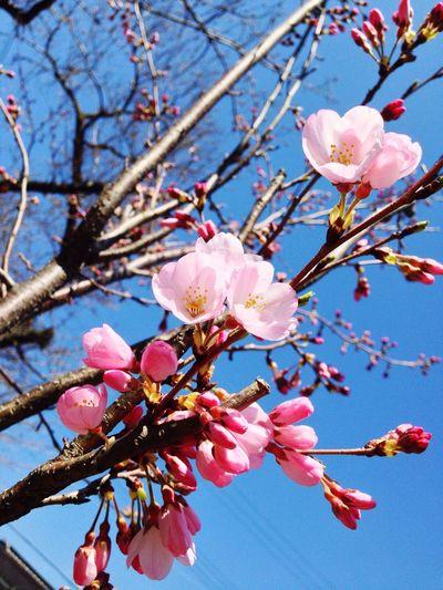 サイタサイタサクラガサイタ Cherry Blossoms Flowers