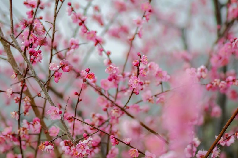 Plum Blossom Flowers Flower Collection Flowerporn Nature EyeEm Nature Lover Nature_collection Nature Photography Taking Photos EyeEm Best Shots EyeEm Gallery From My Point Of View The Week on EyeEm Pink Color Flower Flowering Plant Plant Growth Beauty In Nature Blossom Freshness Branch Close-up Fragility Nature