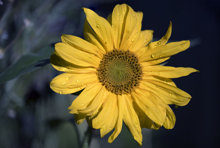 A sunflower from my garden Sunflower Beauty In Nature Blooming Close-up Flower Flower Head Fragility Freshness Growth Nature Petal Plant Yellow