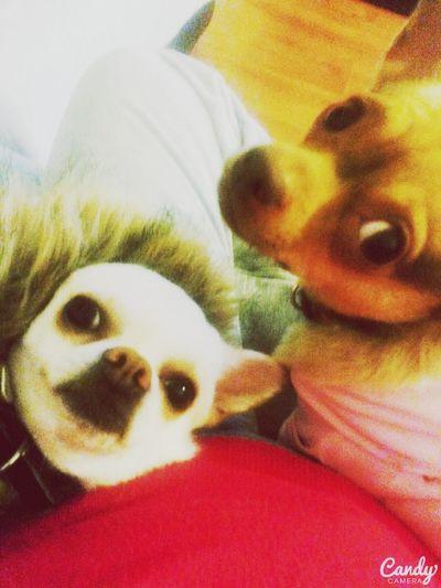 Chihuahua Love ♥ Yuraq Bb'sTime Bianca 💜💜