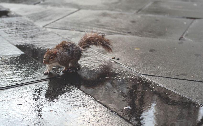 """Squirrel"" Animal Themes One Animal Animals In The Wild Wet Mammal Outdoors Animal Wildlife Nature Close-up Animal NY New York New York City Leica SL USA Photography Street Shot NYC Manhattan Manhattan New York Street Photography City Reflections In The Water Reflection Reflect"