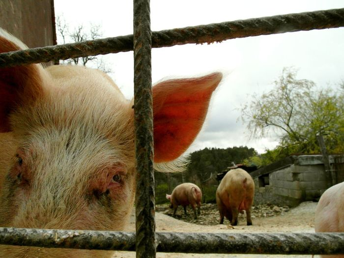 Pigs behind the grate Agriculture Breeding Farm Pig Face Tree Agriculture Animal Themes Close Up Close-up Domestic Animals Enclosure Farm Grate Livestock Mammal Outdoors Pig Piglet Portrait Rural Scene