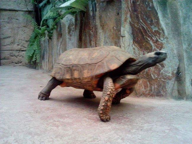 Walking Turtle One Animal Turtle Animal Zoology Walking Walking Alone...