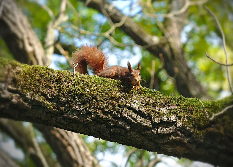 Seek and Hide Animals In The Wild Bark Bushy Tail EyeEm Nature Lover Green Nikon Red Beauty In Nature Beauty In Nature Branch Branches And Sky Climbing Eye Rodent Focus On Foreground Fur Low Angle View Mossy Tree Nature Nosiness One Animal Red Hair Squirrel Squirrel Posing Tree