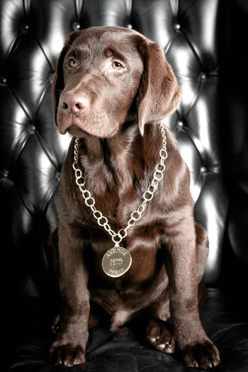 Gangsta Dog Labrador Brown Cool Intensity Puppy Portrait Sweet Cute Pet Armchair Elegant Design Furnitures Glamour Pets Necklace Chain Close-up