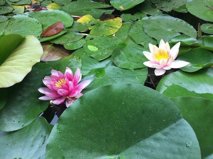 Ninfee Outdoors Flower