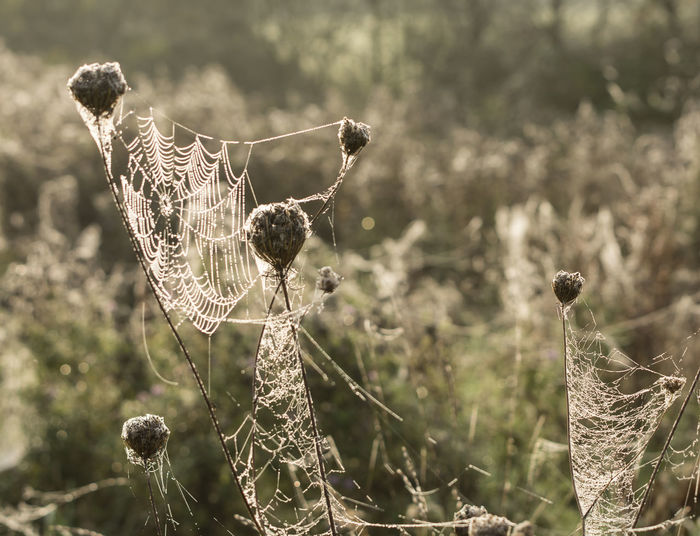 Autumn Green Color Nature Sunlight Taking Photos Trees Animal Themes Beauty In Nature Close Up Close-up Cobweb Day Flower Focus On Foreground Fragility Freshness Highlight Intricate Nature No People Outdoors Seed Head Spider Web Spiders Web Stalks