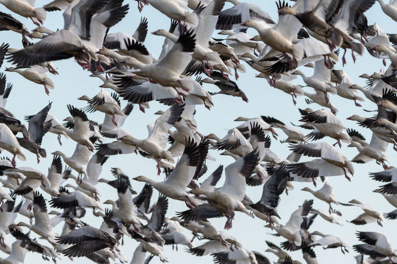 Flock Of Snow Geese Flying Bird Animal Wildlife Vertebrate Animals In The Wild Flying Animal Themes Animal Low Angle View Flock Of Birds Large Group Of Animals Sky Group Of Animals Spread Wings Day No People Nature Abundance Motion Beauty In Nature Mid-air Outdoors Flapping