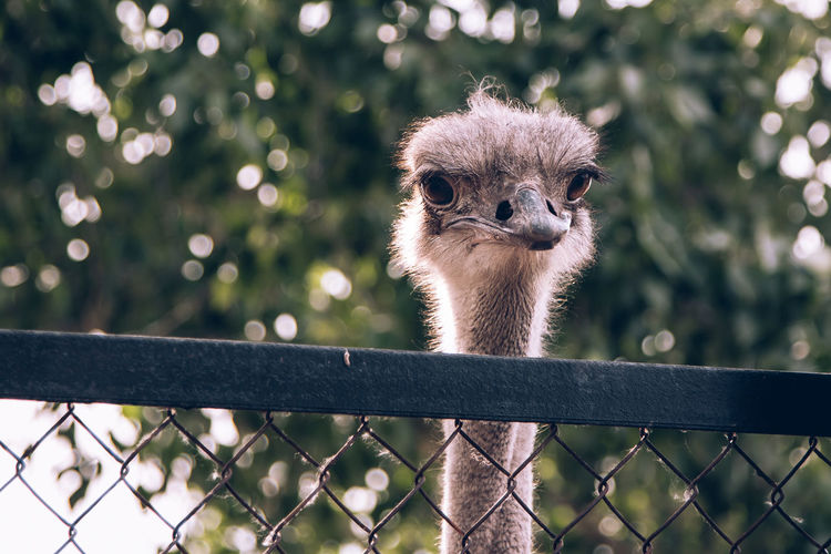 Portrait of an ostrich on the fence