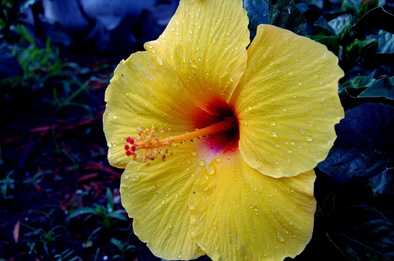 flower, petal, fragility, flower head, beauty in nature, nature, freshness, yellow, growth, outdoors, plant, blooming, day, no people, drop, close-up, stamen, water, hibiscus, day lily