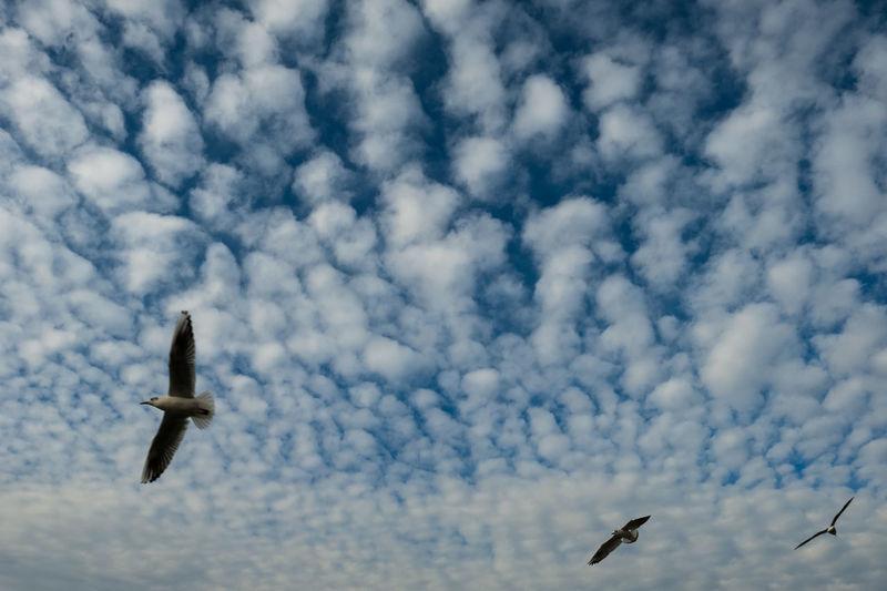 Animal Wildlife Bird Cloud - Sky Day Flight Flying Low Angle View Mid-air Nature No People Outdoors Sea Bird Sky Spread Wings EyeEmNewHere Fujifilm Fujifilm_xseries Xpro2 X-PRO2
