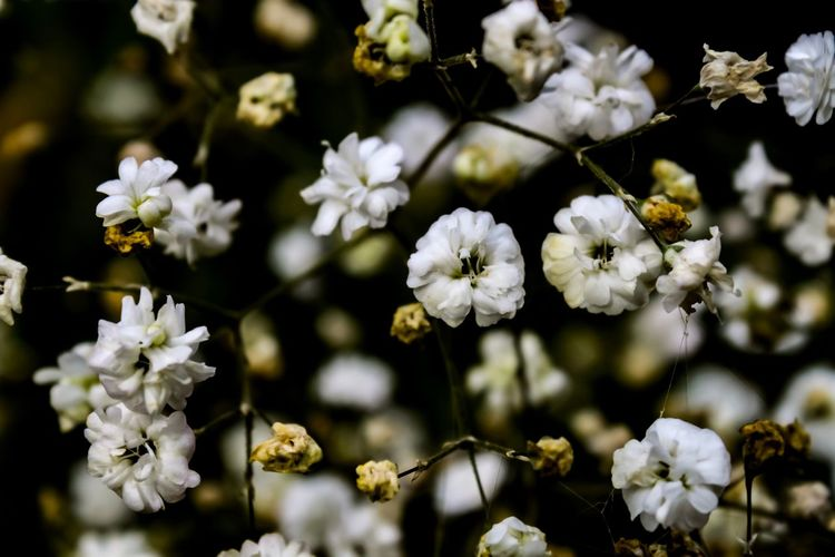 Gypsophila (Baby's Breath), September 2018 Close-up Babys Breath Gypsophila No People Day Focus On Foreground Nature Beauty In Nature Autumn
