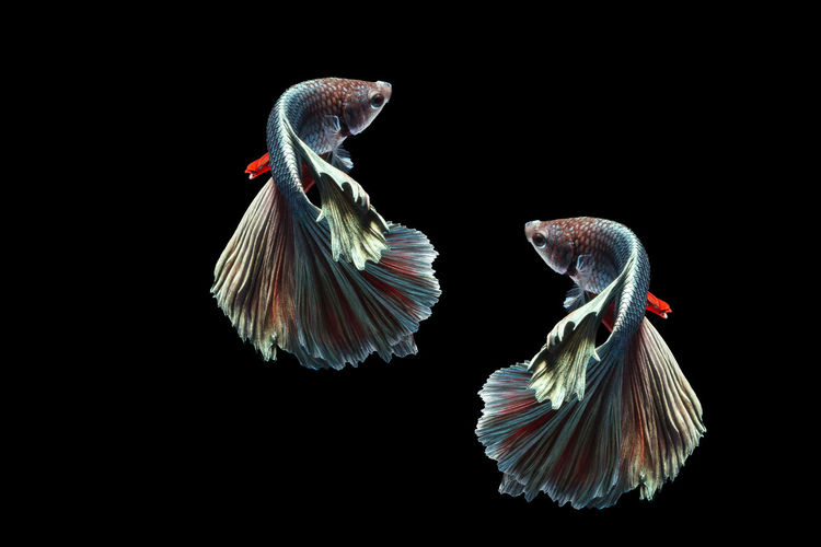Siamese Fighting Fishes Swimming Animal Animal Animal Themes Betta Fish Black Background Close-up Fighting Fish Fish Freshwater Fish Freshwater Fish Halfmoon Betta Nature Siamese Fighting Fish Side View First Eyeem Photo