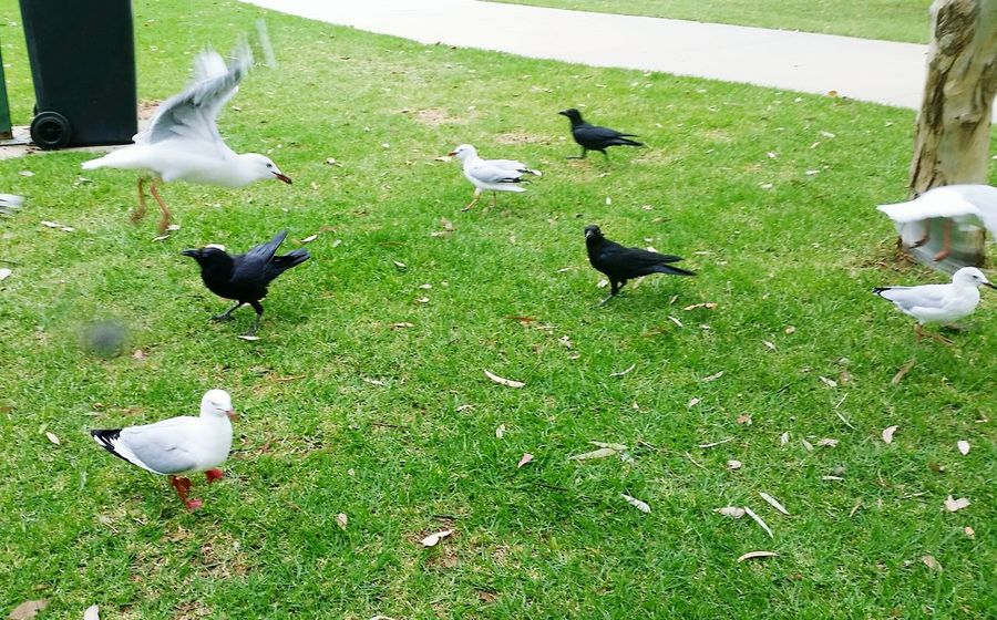 lunch time !!! lol Bird Spread Wings Flying Swan Flock Of Birds Togetherness Water Bird High Angle View Grass Flapping