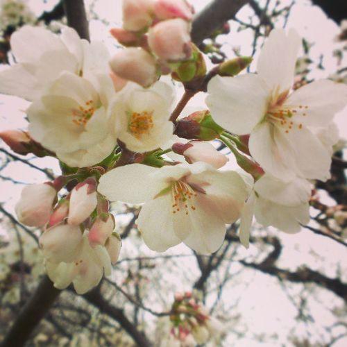 やっと開いてきた地元の桜。一日一日の前進が愛おしくて、泣いてる。