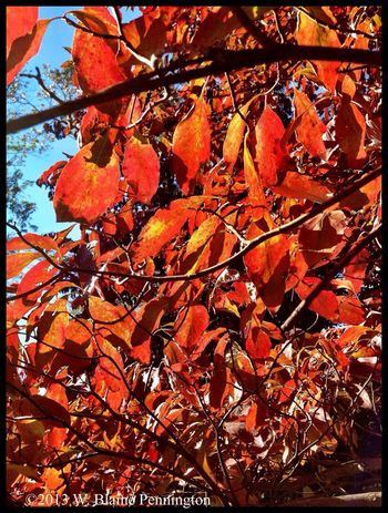 More Firey Dogwoods Leaves Autumn Trees