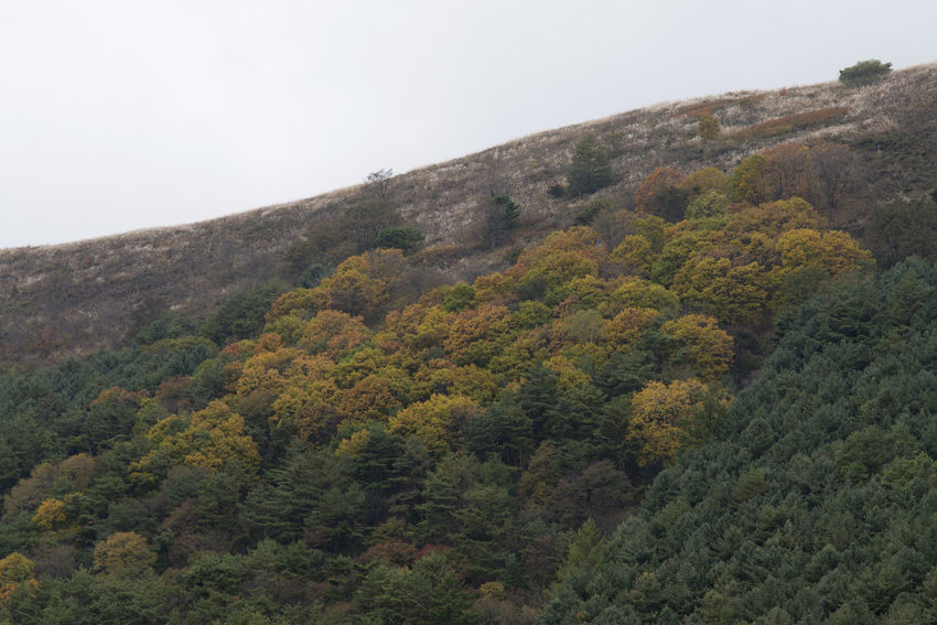 landscape of Mindeungsan Mountain in Jeongseon, Gangwondo, South Korea. Mindeungsan is famous for silver grass. Autumn Jeongseon, Korea Mindeungsan Silver Grass Beauty In Nature Clear Sky Day Forest Landscape Mountain Nature No People Outdoors Plant Scenics Sky Tranquility Tree Vegetation