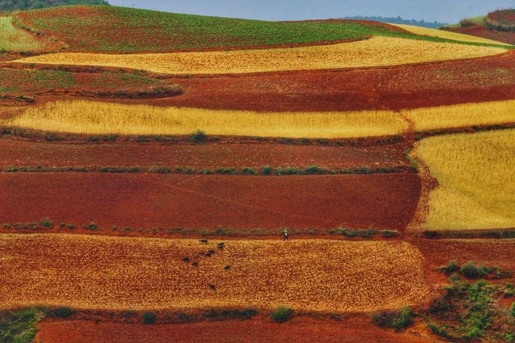 Yunnan China China Landscape Multi Colored Rural Scene Agriculture Field Red Backgrounds Textured  Pattern Landscape Terraced Field Rice Paddy Patchwork Landscape Plowed Field Cereal Plant Farmland Cultivated Land Rice - Cereal Plant Plantation