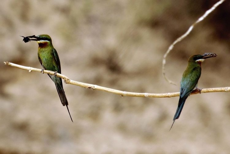 Animal Themes Bee Eater On A Tree Bird Branch