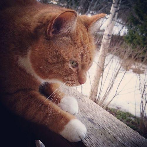 Suomalainen Kissa Kotikissa Ulkona kevät2015 aprillipäivä huhtikuu2015 cat aprilfoolsday april2015