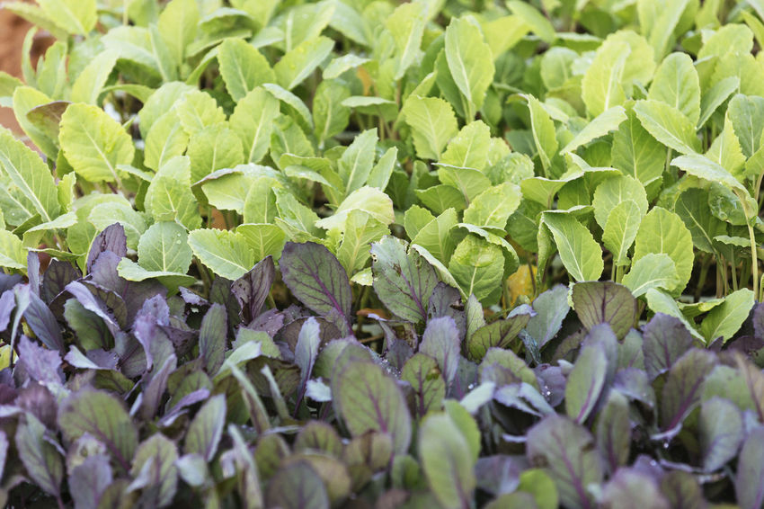 Backgrounds Beauty In Nature Close-up Day Field Food Food And Drink Freshness Full Frame Green Color Growth Healthy Eating High Angle View Leaf Leaves Nature No People Outdoors Plant Plant Part Purple Selective Focus Vegetable