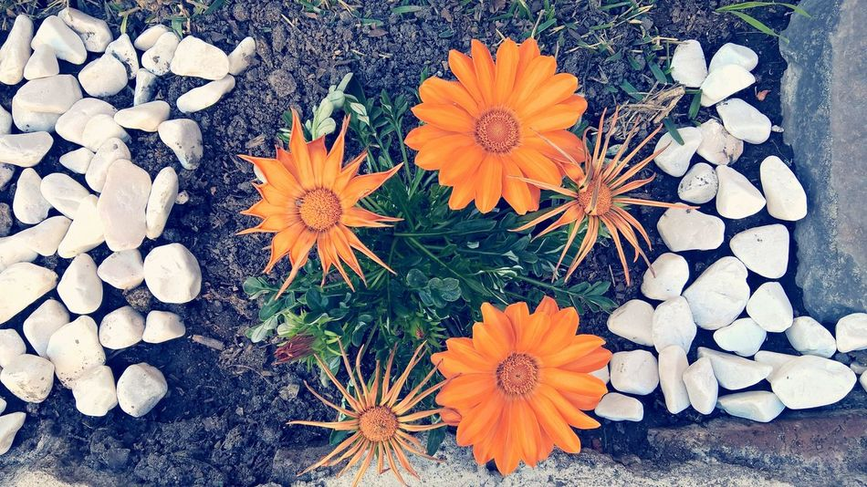 Flower Petal Nature Flower Head High Angle View Plant Beauty In Nature Freshness No People Outdoors Pollen Plants 🌱 Plant EyeEm Gallery Beauty In Nature EyeEm Nature Lover First Eyeem Photo Flowers,Plants & Garden Orange Flower Orange Flowers Beuty Of Nature Gardenflowers Close-up Fragility Day
