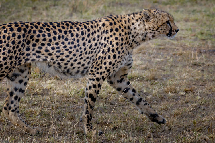 Side view of a cat walking