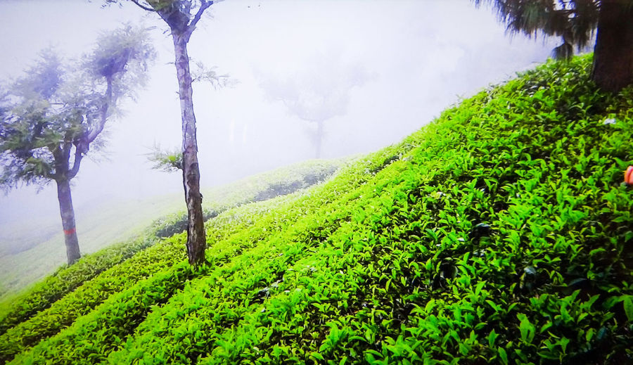 NATURE'S UNIQUE BEAUTY... FLORA... LUSH GREENERY... FOGGY MORNING... Foggy Morning Tea Plantation Terrace Plant Beauty Beauty In Nature Landscape Teatime Tea Plantations Trees And Sky Fog Tree Tea Crop Rural Scene Agriculture Field Fog Cultivated Crop  Plantation Lush - Description Terraced Field Cultivated Land