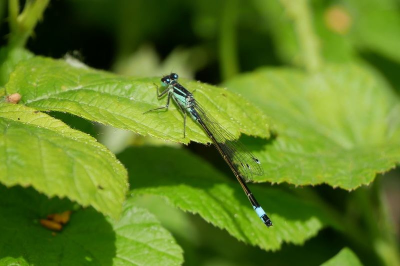 Libellule bleu Leaves Insect Insect Photography Blue Blue Dragonfly Nature Nature_collection Nature Photography Leaf Damselfly Insect Close-up Animal Themes Green Color Dragonfly Animal Wing