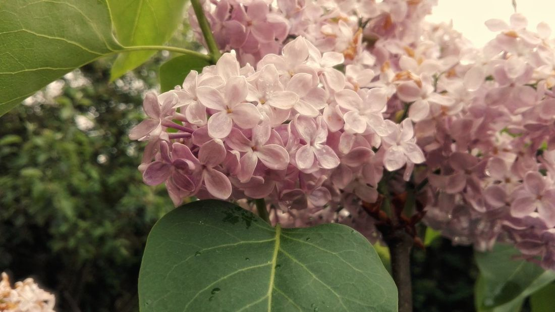 Lilac Plant Nature Leaf Close-up Flower Pink Color Beauty In Nature No People Outdoors Tree Summer Growth Flower Head Fragility Freshness Rain