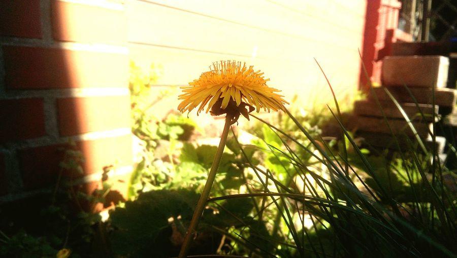 Löwenzahn Sommer Gartenzeit Frühling Hanging Out Relexing