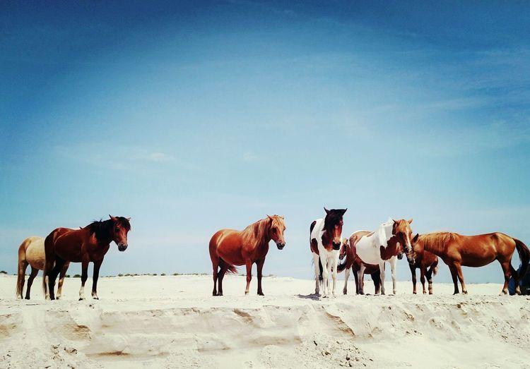Assateague Island Wild Ponies Beach Bum Wildlife